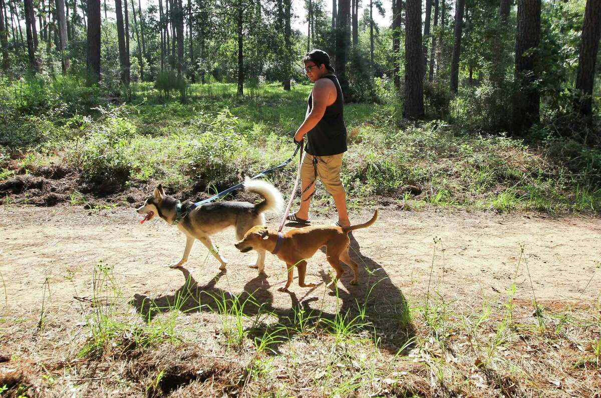 Forest bathing or forest therapy is a type of nature therapy all about taking in the atmosphere of the forest to relax, and it happens once a month at William Goodrich Jones State Forest in between The Woodlands and Conroe. Here, Gustavo Obregon walks his dogs through William Goodrich Jones State Forest, Tuesday, July 2, 2019, in Conroe.