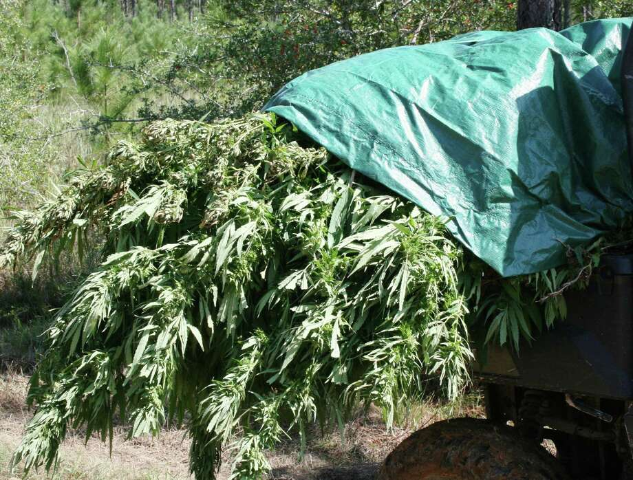 Approximately 1,000 marijuana plants were pulled from a field off of FM 222 in Shepherd on Wednesday, Oct. 3, by officers with the San Jacinto County Sheriff's Office and the Texas Department of Public Safety's Criminal Investigation Division in Conroe. Photo: VANESA BRASHIER / The Advocate / The Advocate