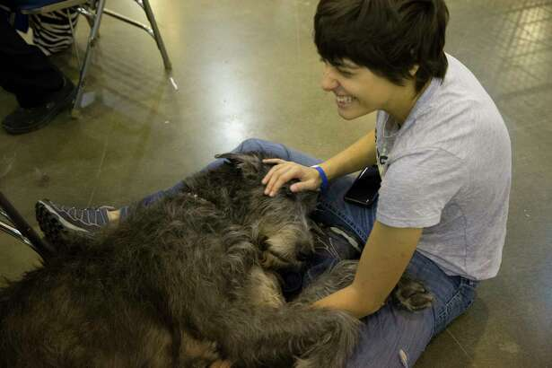 """Lissee, a three-year-old Irish Wolf Greyhound, enjoys petting from new friend Roxane Jourdain at the Houston World Series of Dog Show at NRG Center on Friday, July 19, 2019, in Houston. """"I am her favorite pillow now,"""" Jourdain said."""