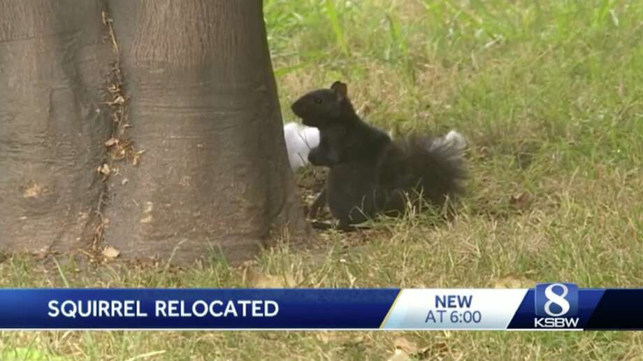 Multiple agencies helped re-home an aggressive squirrel in Santa Cruz. Photo: KSBW