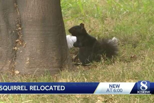 Multiple agencies helped re-home an aggressive squirrel in Santa Cruz.