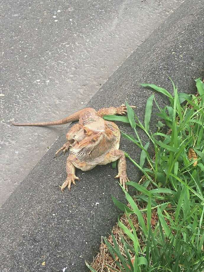 The bearded dragon was found wandering on Mansfield Avenue by First Selectman Jayme Stevenson. Photo: Jayme Stevenson