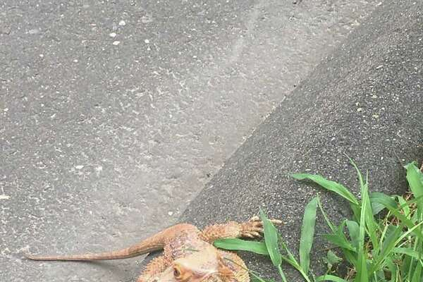 The bearded dragon was found wandering on Mansfield Avenue by First Selectman Jayme Stevenson.