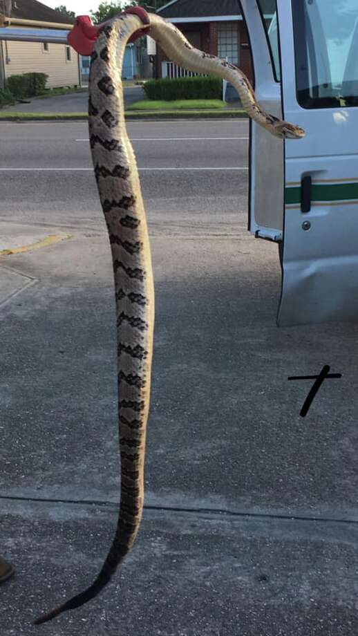 A 5-foot rattlesnake that found was found underneath a family's grill in Louisiana came a long way to get there. Photo: Harahan Police Department