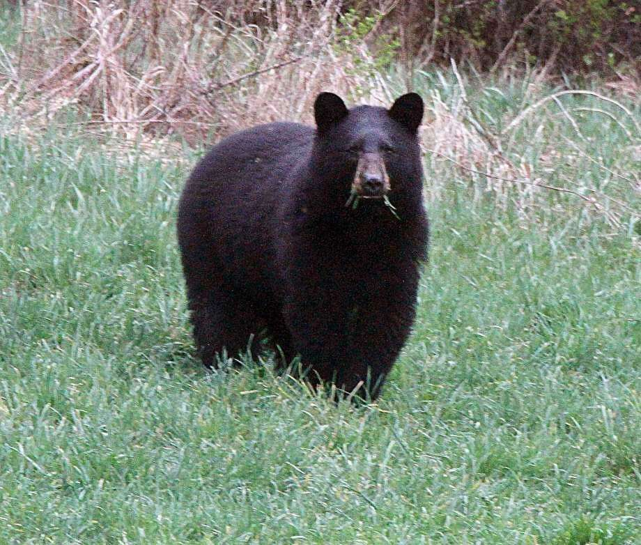 Bears have been spotted in the King Street area. Photo: Associated Press
