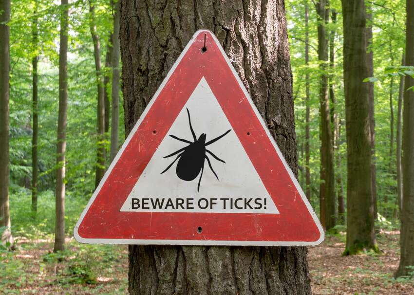America's most common ticks and how to identify them Imagine: you've just returned from a long hike through the woods. You're sweaty, you're thirsty, your muscles ache. Your shoulders are sunburnt, your legs are covered with mosquito bites. All you want to do is plop down on the couch with a cold drink and turn on the television. But first-you need to check for ticks. Ticks are tiny insects, most of them small enough to dance on a dime, but they infect tens of thousands of Americans every year. Ticks in 2017 caused disease in 59,349 people across the country-including 42,743 cases of Lyme disease. That's enough infections to lay low 100 summer camps. And ticks carry other dangerous diseases as well: ehrlichiosis, a potentially fatal disease spread by Lone Star ticks; and Rocky Mountain spotted fever, which causes dangerous rashes and swelling. In order to prevent tick bites, the Centers for Disease Control and Prevention (CDC) recommend using insect repellents registered by the Environmental Protection Agency (EPA); you can find repellents that best suit your needs using the EPA's search tool. It's best to put insect repellent on exposed areas of your skin and on your clothes and gear, such as boots, tents, and anything else that will be touching the ground. Ticks cannot fly or jump; rather, they lie in wait on blades of grass or shrubs and latch onto anything that moves nearby. Thus, protecting your legs is particularlyimportant-consider wearing long pants and tucking them into your sneakers or hiking boots, if...