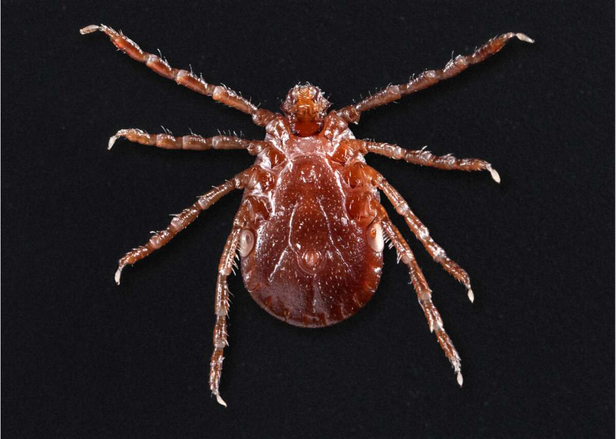 """Asian longhorned tick Molaei told the New Haven Register that the traditional protocols for tick safety remain the same: covering as much skin as possible with light-colored clothing to better detect the dark-colored ticks, and doing a diligent check within two to three hours of outdoor activity. Molaei said ticks also may use domestic pets as hosts before moving onto humans. Traditionally, guidance around ticks was to avoid tall grass, but Molaei said residents must be diligent in all scenarios. """"We have ticks pretty much throughout the state in any habitat you can imagine, even in the coastal regions with sparse vegetation maybe 10 to 20 meters from water,"""" he said. Molaei said it is important that, should a tick be removed, it be transported to a local health department or a physician's office so the tick can be transported to the CAES for testing."""