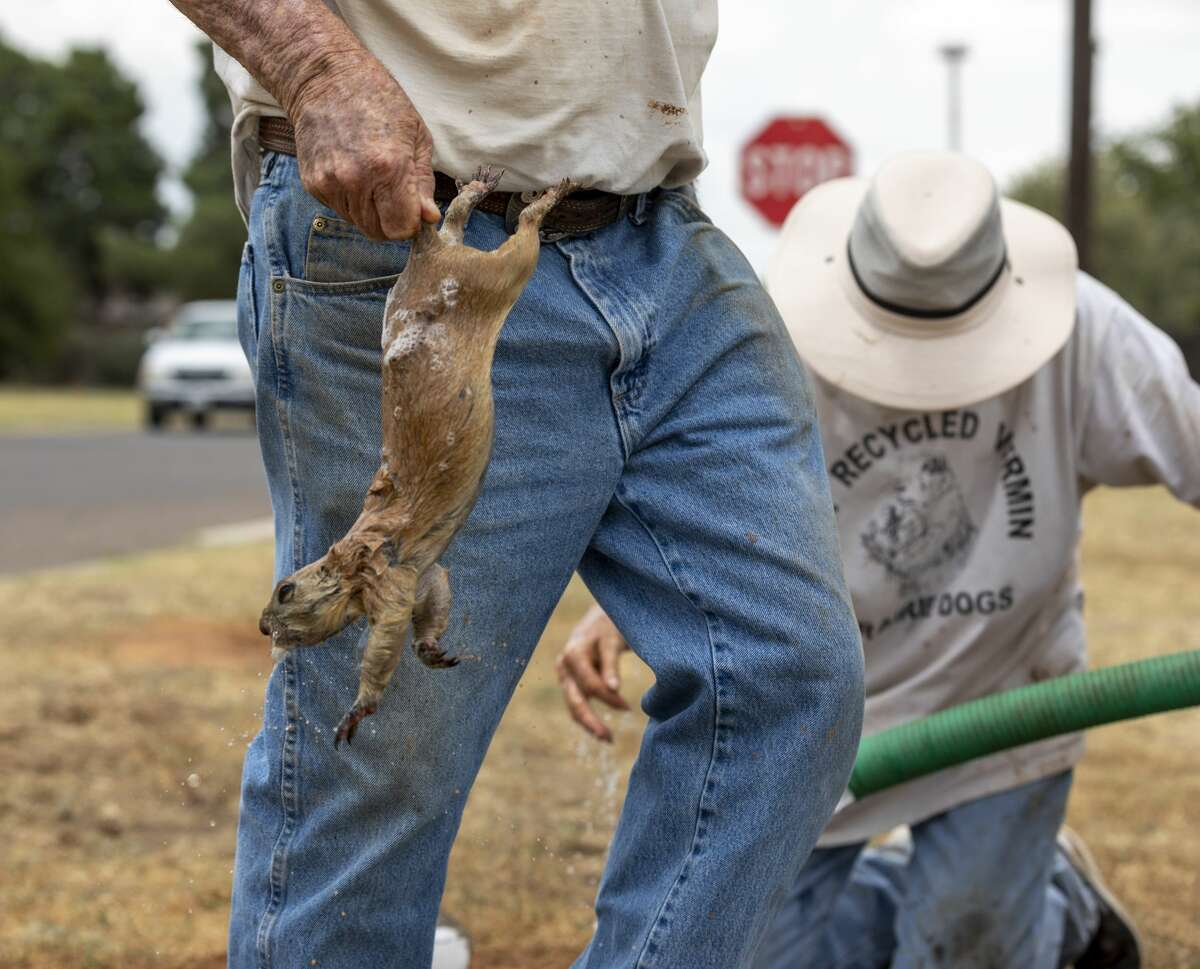 Daryle Hogue takes a prairie dog by its tale to be cleaned and sprayed of fleas Monday, July 22, 2019 at the 1400 block of Indiana Ave. The City of Midland hired Lynda Watson to relocated the prairie dogs residing in the area because of neighborhood complaints about the rodents.