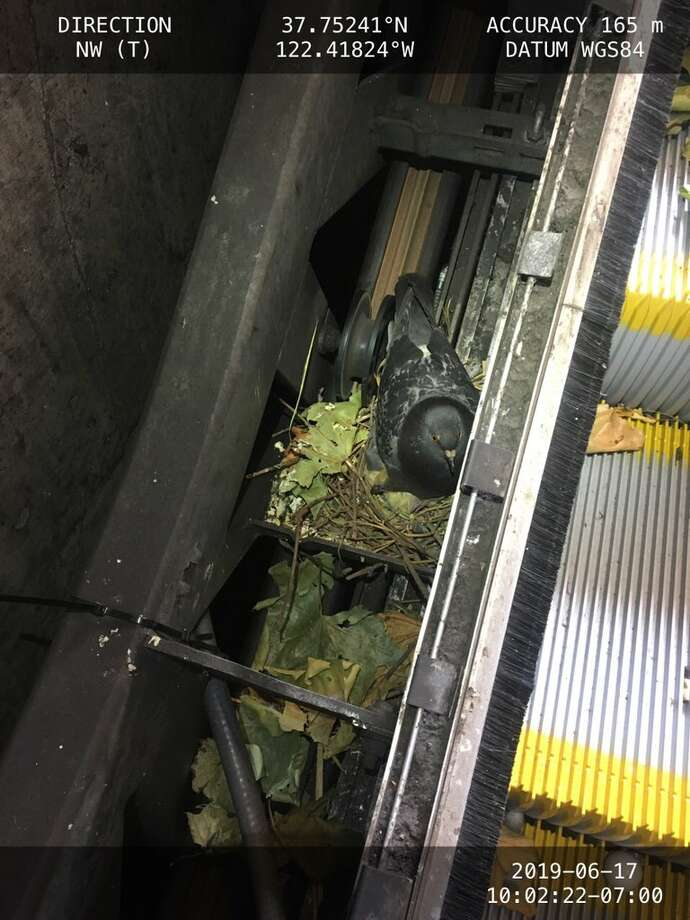 This pigeon delayed repairs to a BART escalator by building a nest and laying eggs inside the machinery. Photo: BART