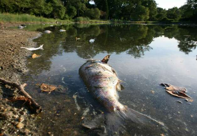 Dead fish found floating in bruce park pond greenwichtime for Floating fish pond