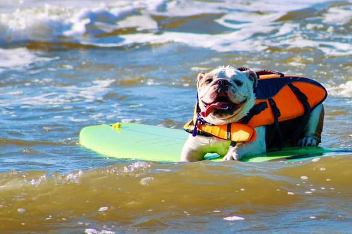 >>>Check out all the dogs and a few cats(!) that took hit the beach and surfed the waves at the Galveston Island Humane Society'sOhanu Surf Dog Competition.