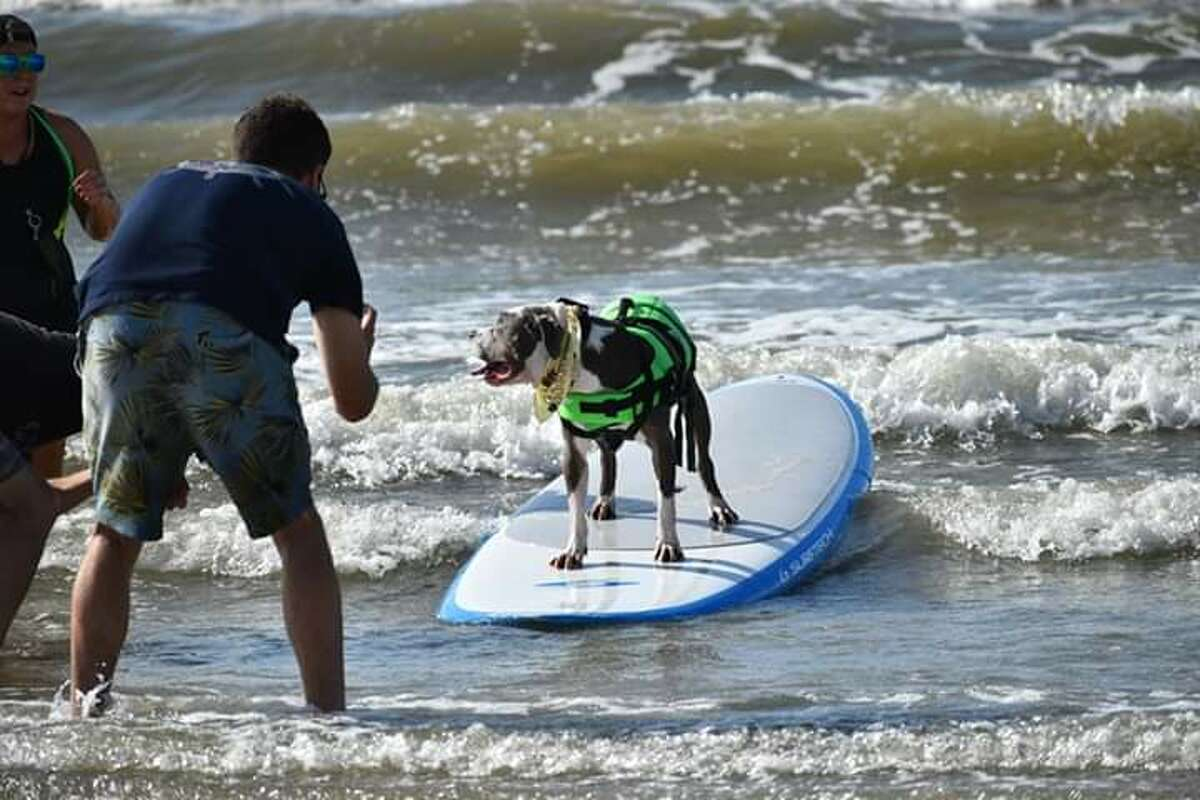 Some of the dog and cat surf action at the Galveston Island Humane Society's Ohanu Surf Dog Competition.