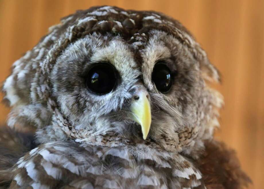 The steely stare of a barred owl can strike fear into a mouse and wonder into humans. Nighttime hikes at Armand Bayou Nature Center take visitors where the stealthy birds live. Other hikes from the center seek bats. Photo: Billy Smith II, Staff / Chronicle / © 2014 Houston Chronicle