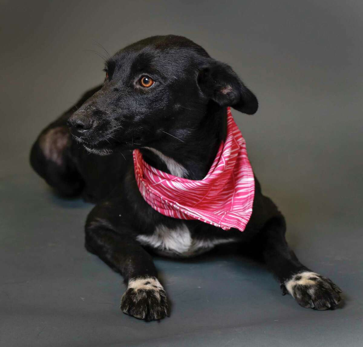 Missy is a 10-month-old, female, Border Collie mix available for adoption at the Harris County Animal Shelter, in Houston. (Animal ID: A537644) Photographed Tuesday, July 23, 2019. Missy is a sweet young dog, who was surrendered by her owner, and she is terrified of the shelter.