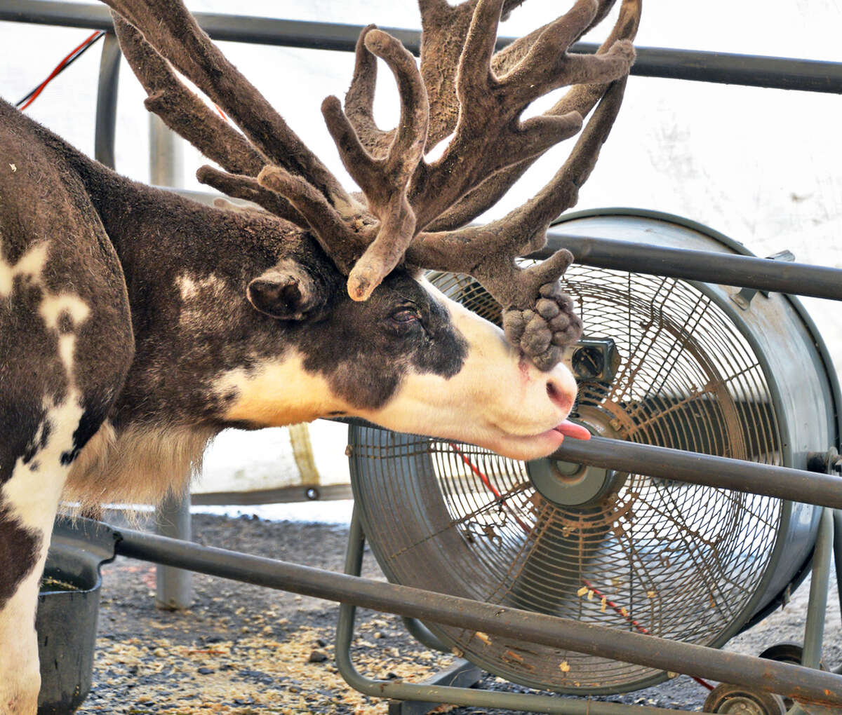 Click through the slideshow of photos from 2019 county fairs in the Capital Region. A reindeer keeps cool at a large fan at the Saratoga County Fair in Ballston Spa, NY Tuesday July 16, 2013. .(John Carl D'Annibale / Times Union)