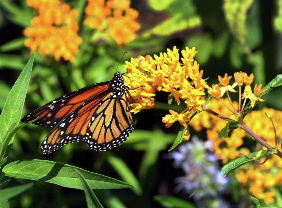 A monarch butterfly feeds on nectar. Photo: Melanie Stengel /