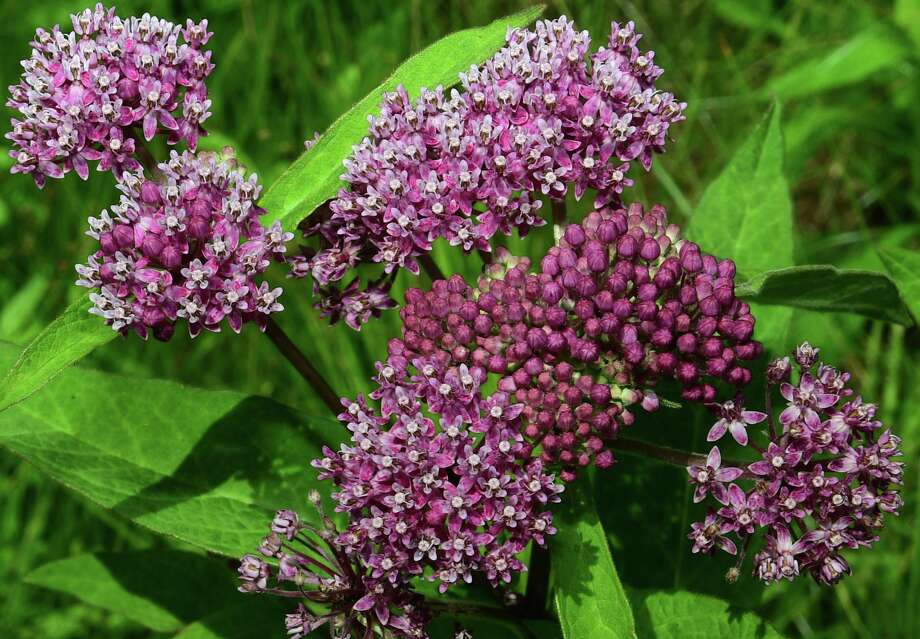 Swamp milkweed is among the native wildflowers being offered for sale by the Wilton High School Organic Garden. Photo: Erik Trautmann / Hearst Connecticut Media / Norwalk Hour