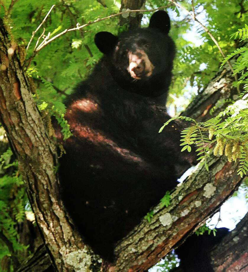 A 250-pound black bear in Danbury in 2013. Photo: Michael Duffy / The News-Times
