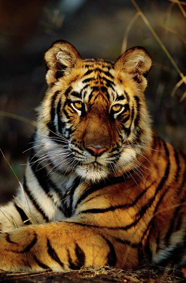 International Tiger Day, takes place at Connecticut's Beardsley Zoo in Bridgeport on Monday. Celebration to raise awareness for tiger conservation. Photo: Theo Allofs / Corbis