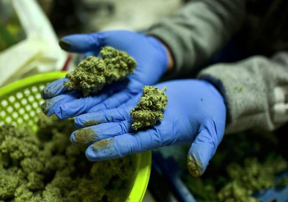 ARCHIVO — En esta fotografía del 4 de abril de 2019, un trabajador muestra en Gardena, California, cogollos frescos de marihuana recientemente manicurados para su posterior venta Photo: Richard Vogel /Associated Press / Copyright 2019 The Associated Press. All rights reserved.