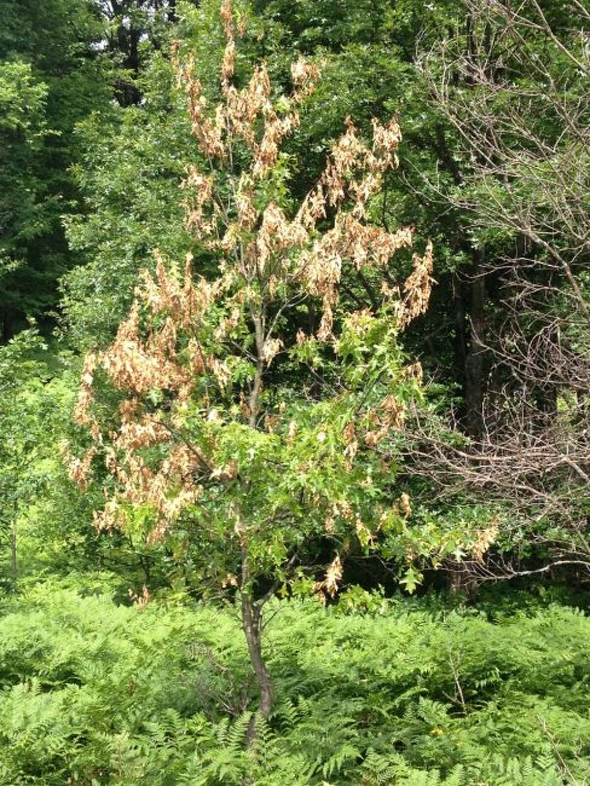 A red oak tree near Cadillac displays an active oak wilt infection. (Courtesy photo/Larry Czelusta, Wexford CD)