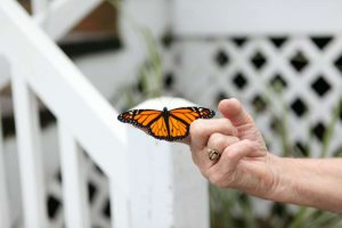 A male monarch butterfly can be identified by the black dots in the bottom portion of their wings.