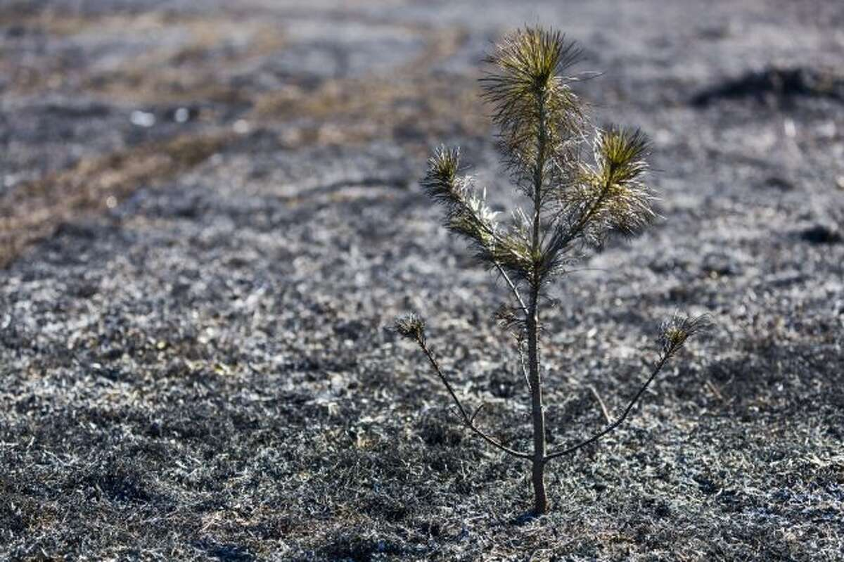 SCORCHED: A tree stands in the middle of a burnt field after a grass fire.
