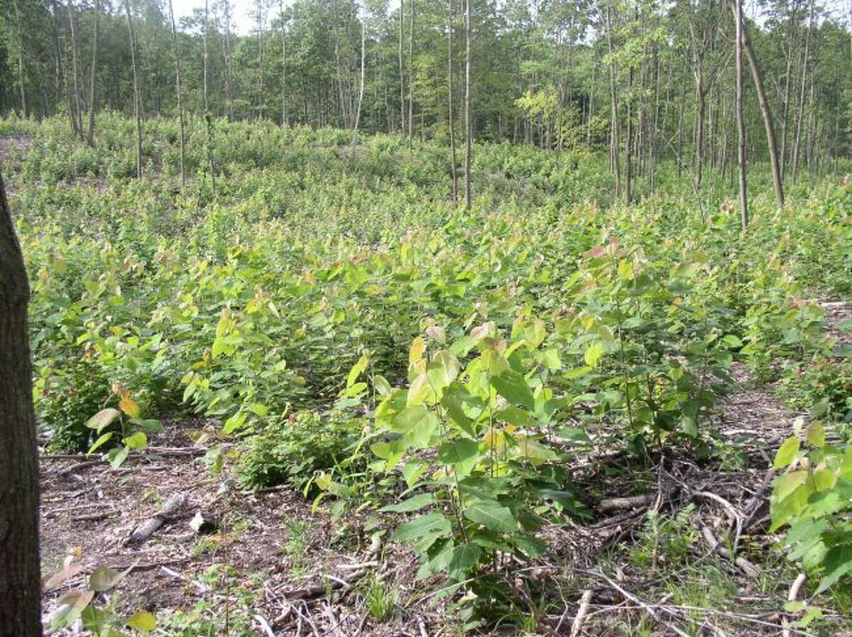 Aspen regenerates quickly after a dormant season clearcut. A forest management plan schedules activities that address the needs of the forest and goals of the property owner. (Courtesy photo)