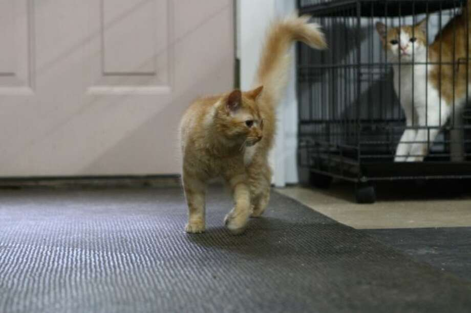 Omar is one of the many kittens available for adoption during the Empty the Shelter Day on Saturday.