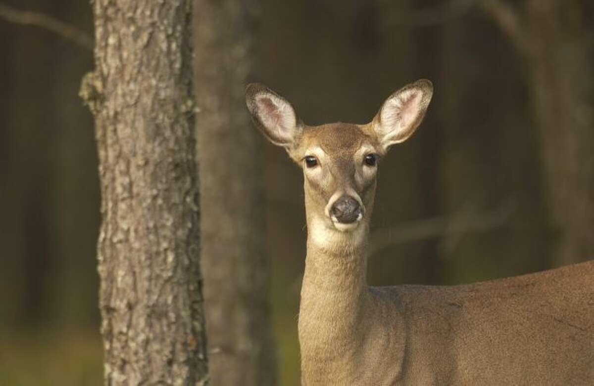 A deer is pictured in this undated photo. According to data made available by Michigan State Police, the number of car-deer crashes statewide rose from 2016 to '17. (Courtesy photo)