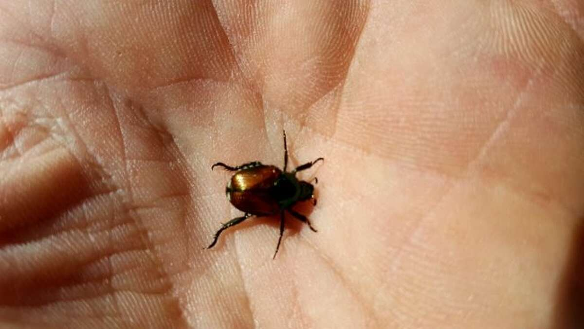 The Japanese beetle has been in Mecosta County for some time now, but is making its way into Osceola County. (Courtesy photo)