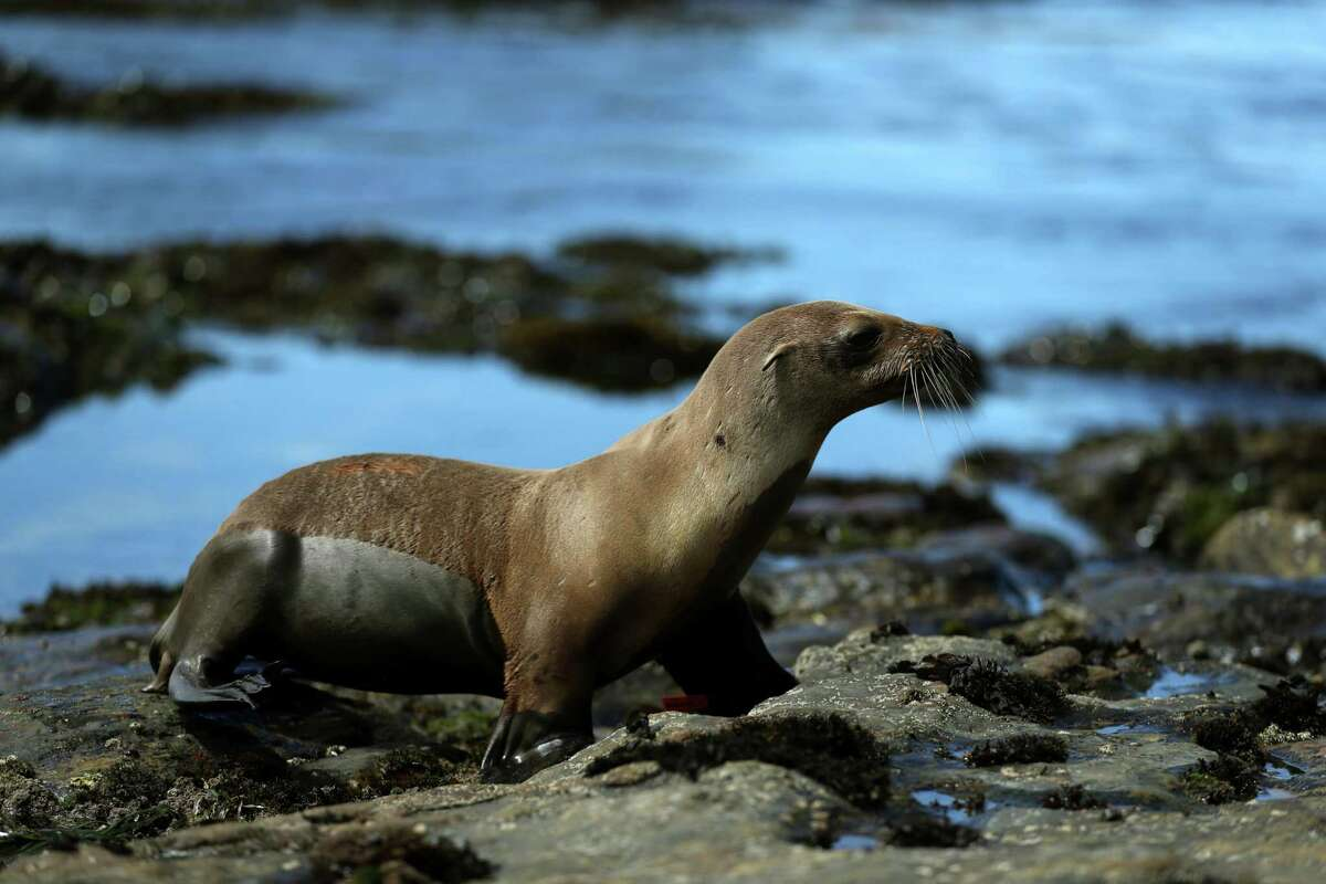 A California sea lion waddles toward the water at Point Lobos State Reserve.