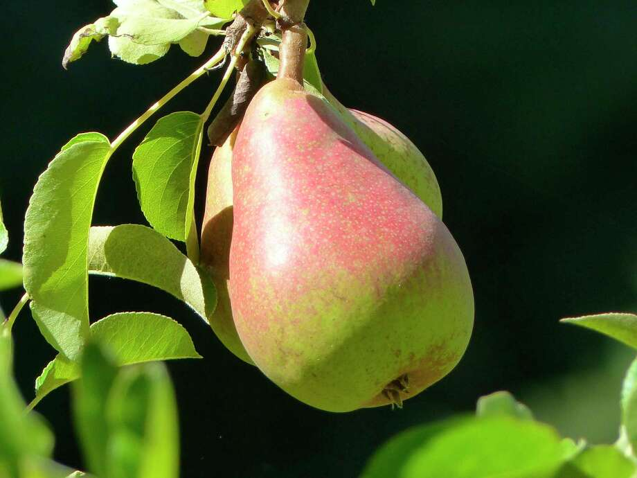 This Aug. 1, 2015 photo shows pears growing on a tree near Langley, Wash. Pears will mature on trees but not ripen and if left too long will turn brown inside. Horticulturists say pears need to be harvested, stored for two to four weeks at about 40 degrees Fahrenheit and then be exposed to several days at room temperatures before they are ready for the best eating experience. (Dean Fosdick via AP) Photo: Dean Fosdick / Dean Fosdick