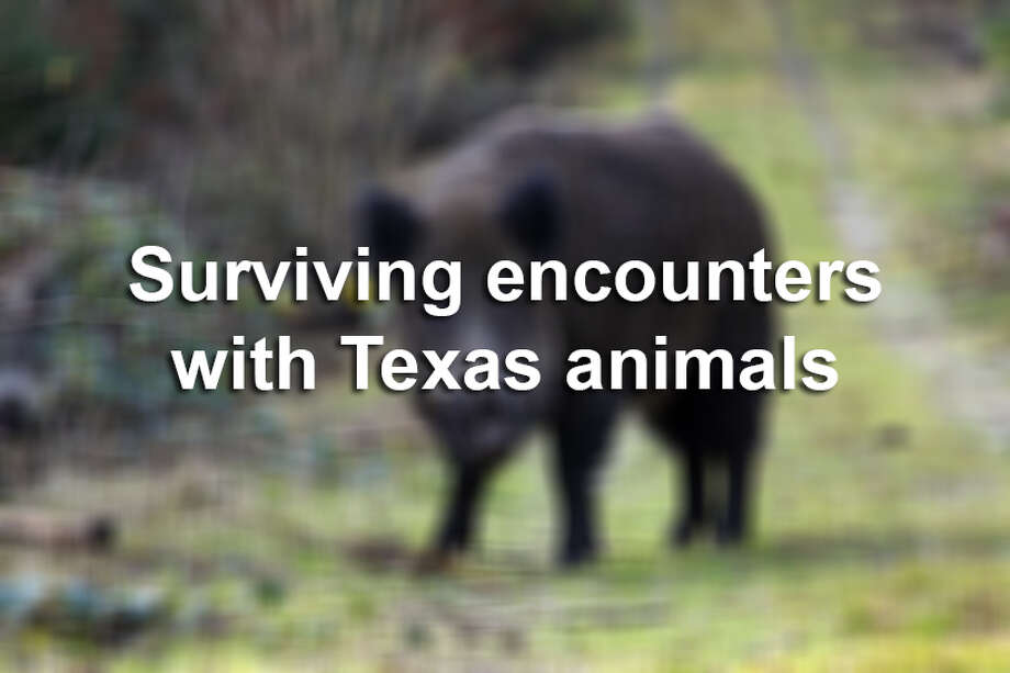 >> Here's a list of Texas wildlife and how to handle them if you ever encounter these animals. Photo: Houston Chronicle