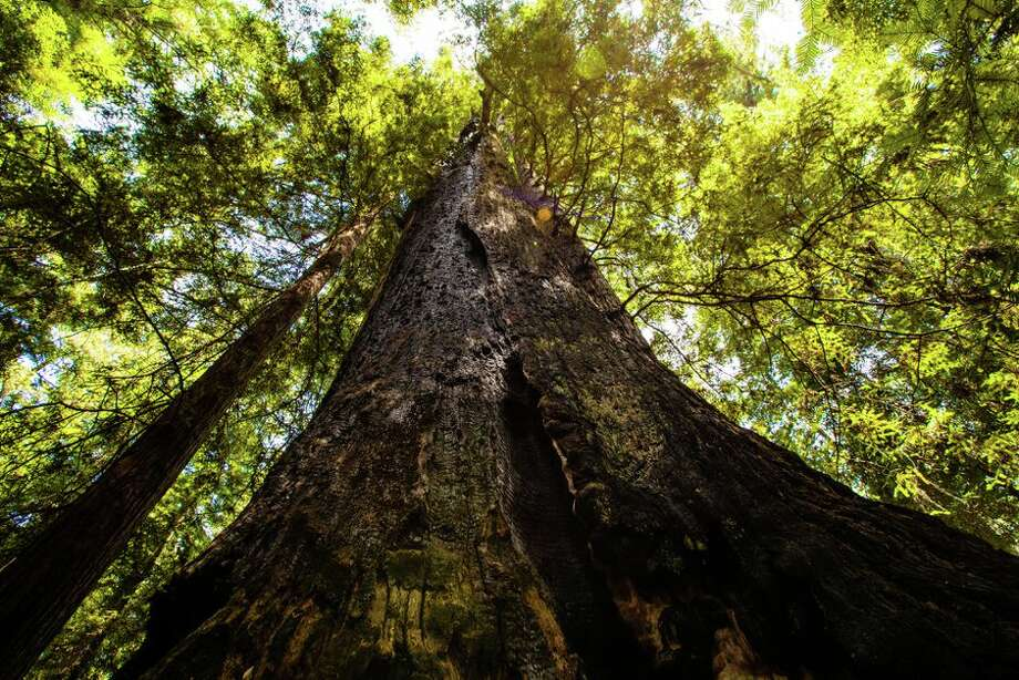 California's coast redwood trees are growing faster in warmer temperatures. Photo: James Martin/CNET