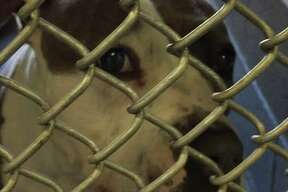 """""""Annabell"""" the pitbull was found in Cranbury Park July 26, 2019."""
