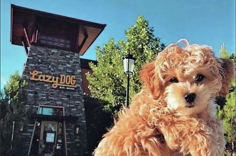 Lazy Dog is launching its Houston location this week. >>>See other dog-friendly Houston restaurants. Photo: Courtesy