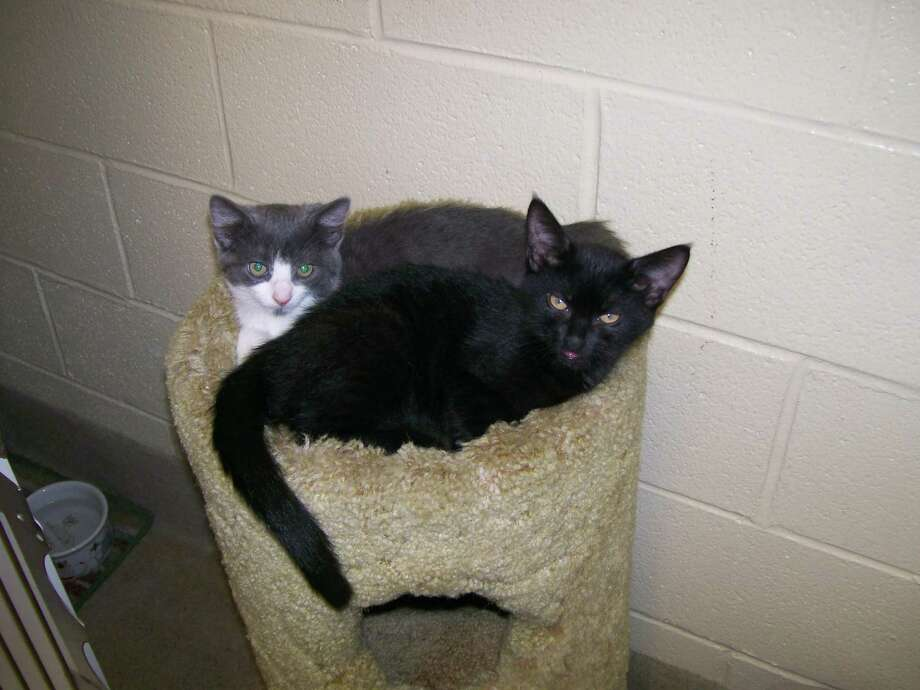 Kittens up for adoption at the Trumbull Animal Shelter. Call 203-452-5088 for information. Photo: Contributed Photo