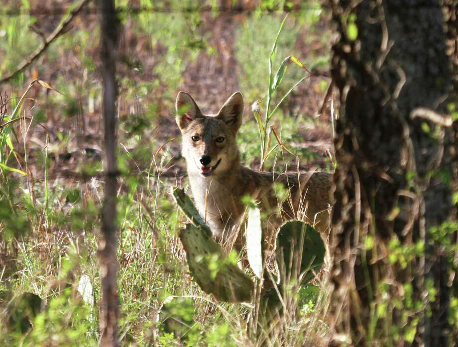 Coyotes' ability to blend several vocalizations into their calls confounds most human listeners into significantly overestimating how many of the wild canids they are hearing - one of several insights into the iconic animals illuminated by research led by Dr. Scott Henke of Texas A&M University-Kingsville. Photo: Shannon Tompkins / Houston Chronicle