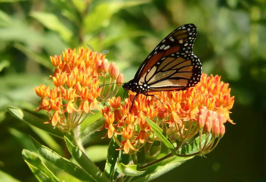 The Butterflies of Salt Meadow,  a free nature walk, will be held Saturday August 10, 10 a.m.-noon (rain date August 11) Photo: Shaun Roche / Contributed