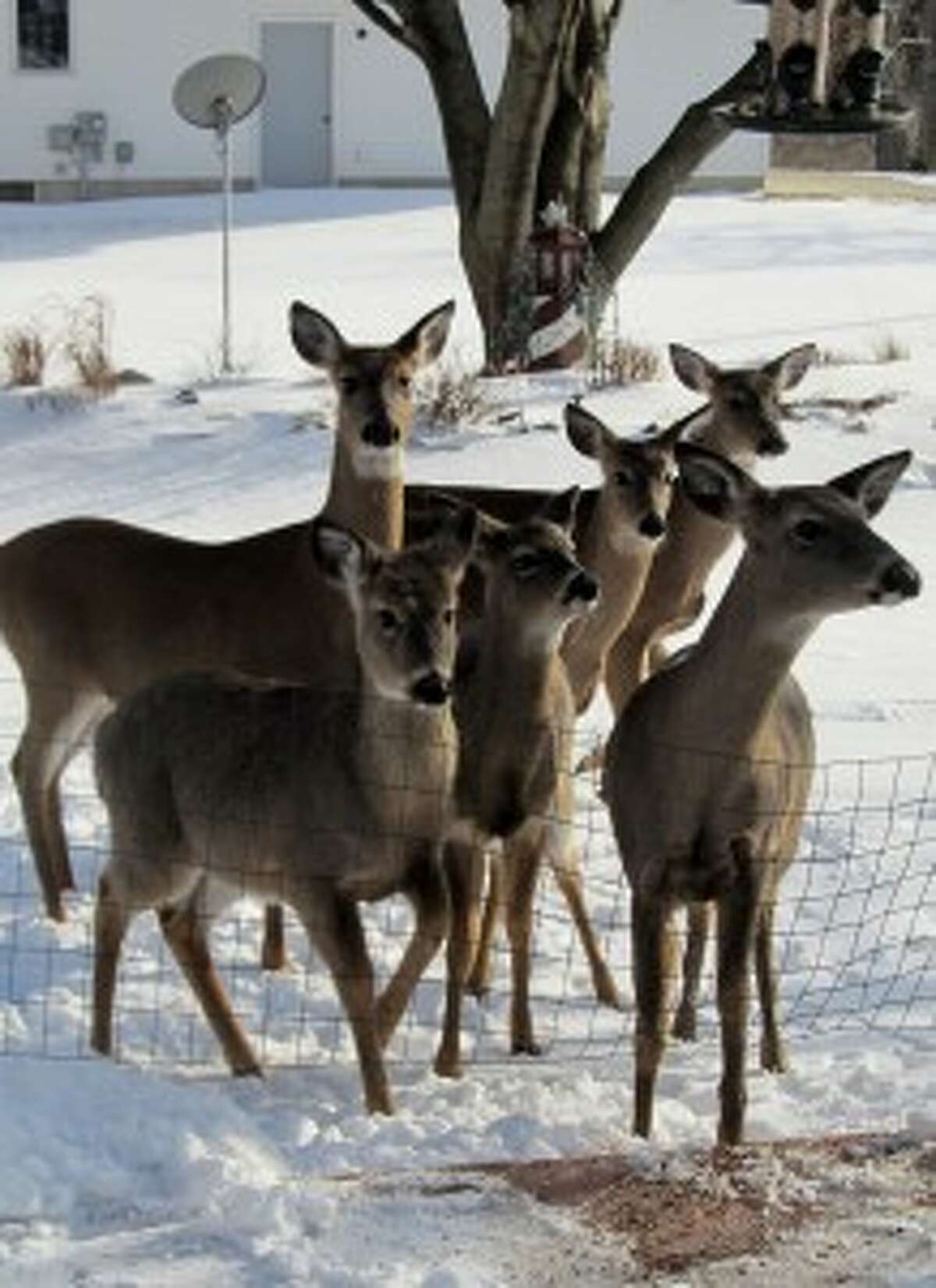 File Photo / News AdvocateA group of six deer roam in the backyard of Bethel Assante's home on Ninth Street in Manistee in March 2014. The Manistee City Council Tuesday rescinded the deer cull by the City of Manistee police department by a vote of 4 to 3.