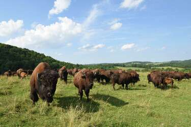 Errant bison herd is making its way home - Times Union