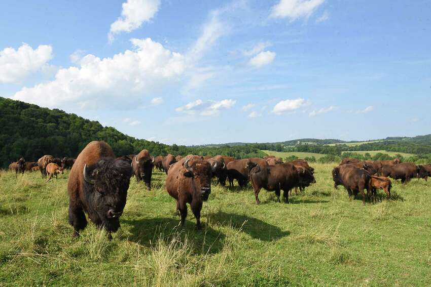 Bison graze on Brian Grubb's Bison Island on Monday, July 29, 2019 in Sharon Springs, N.Y. About a third of his bison escaped last week. (Lori Van Buren/Times Union)