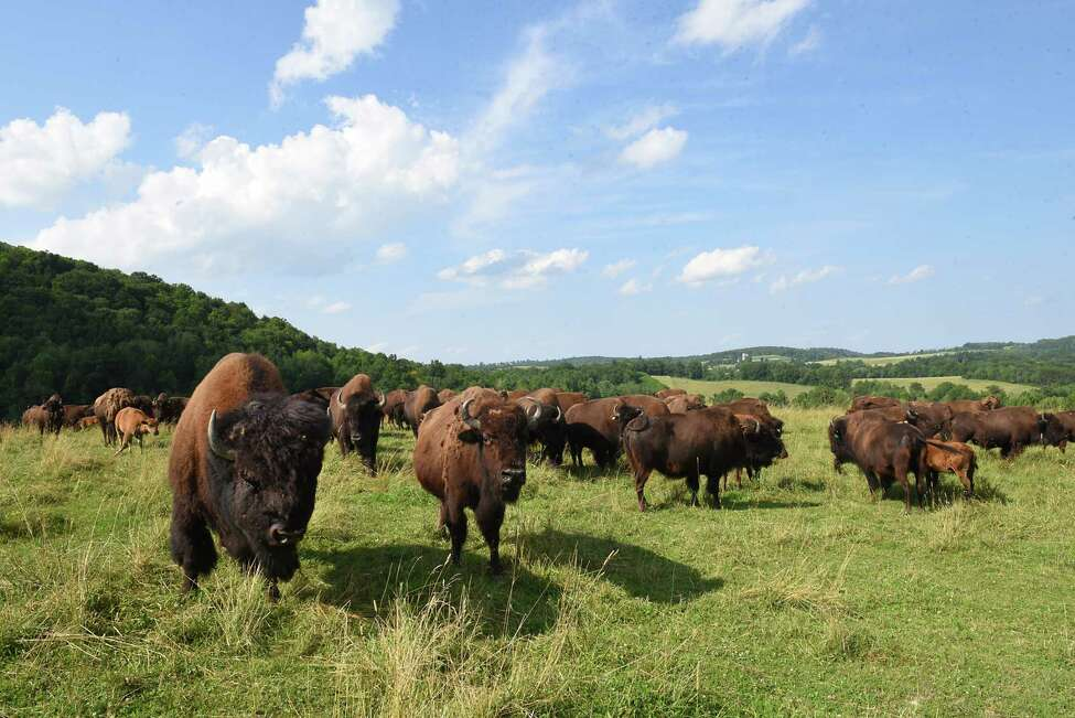 Where do they roam? In other people's farms. A herd of around 75 buffalo escaped from a ranch in Otsego County and ate a bunch of crops they weren't supposed to. And, it turns out, when you chase them, they scatter.