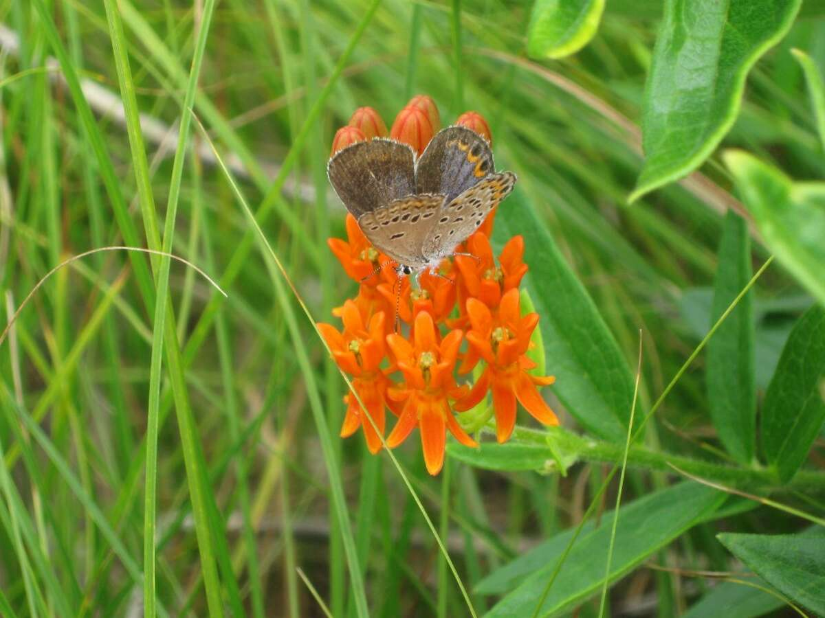 ESSENTIAL POLLINATORS: The Benzie Audubon Club will host a presentation byHeather Keough on the stresses butterflies, bees and other pollinators are under, and what people can do to help essential pollinators repopulate.(Courtesy Photo)