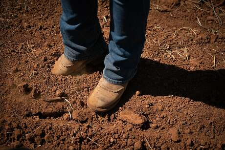 Brenae Royal digs her boot into volcanic clay loam soil at Monte Rosso Vineyard in Sonoma, Calif., on Thursday, July 25, 2019. Photo: Sarahbeth Maney / Special To The Chronicle 2019