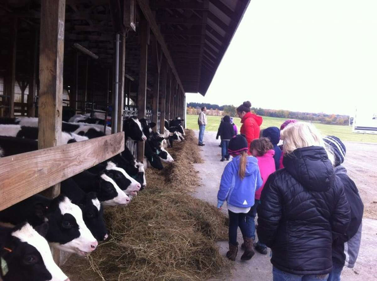 Manistee Catholic Central Elementary School students view cows at Country Dairy in New Era.