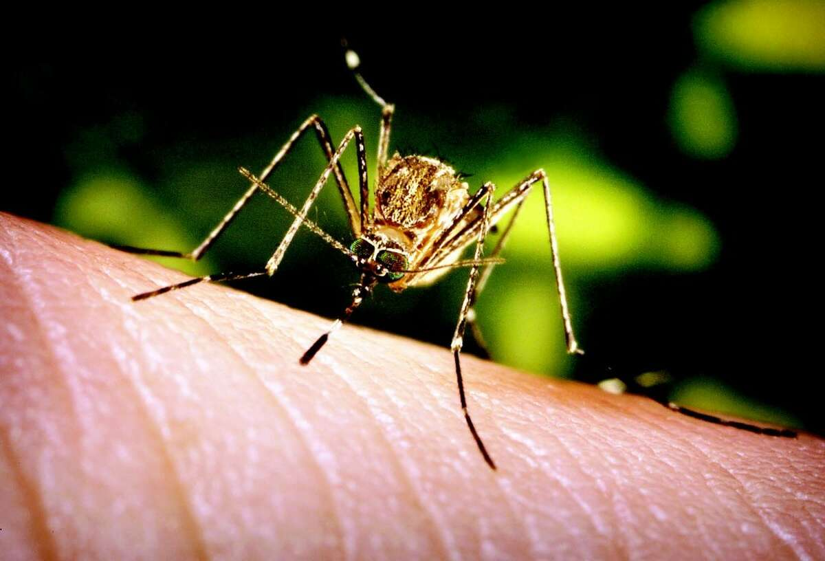 The Center for Disease Control says Americans are facing the largest outbreak of West Nile Virus since it was first detected in 1999. There are no reports of WNV in Manistee County. (Courtesy photo)