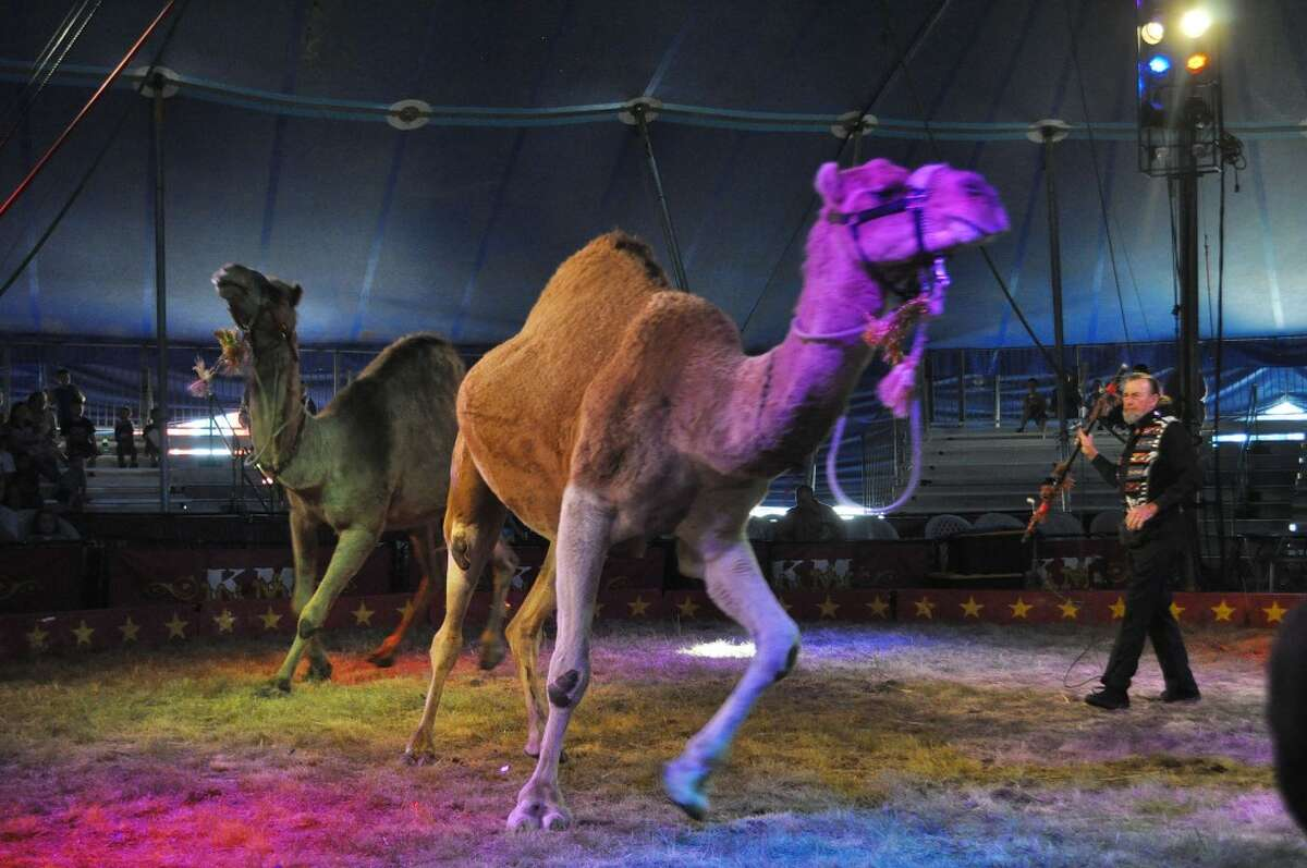 Mike Rice has trained the Kelly Miller Circus camels to run, dance and spin.