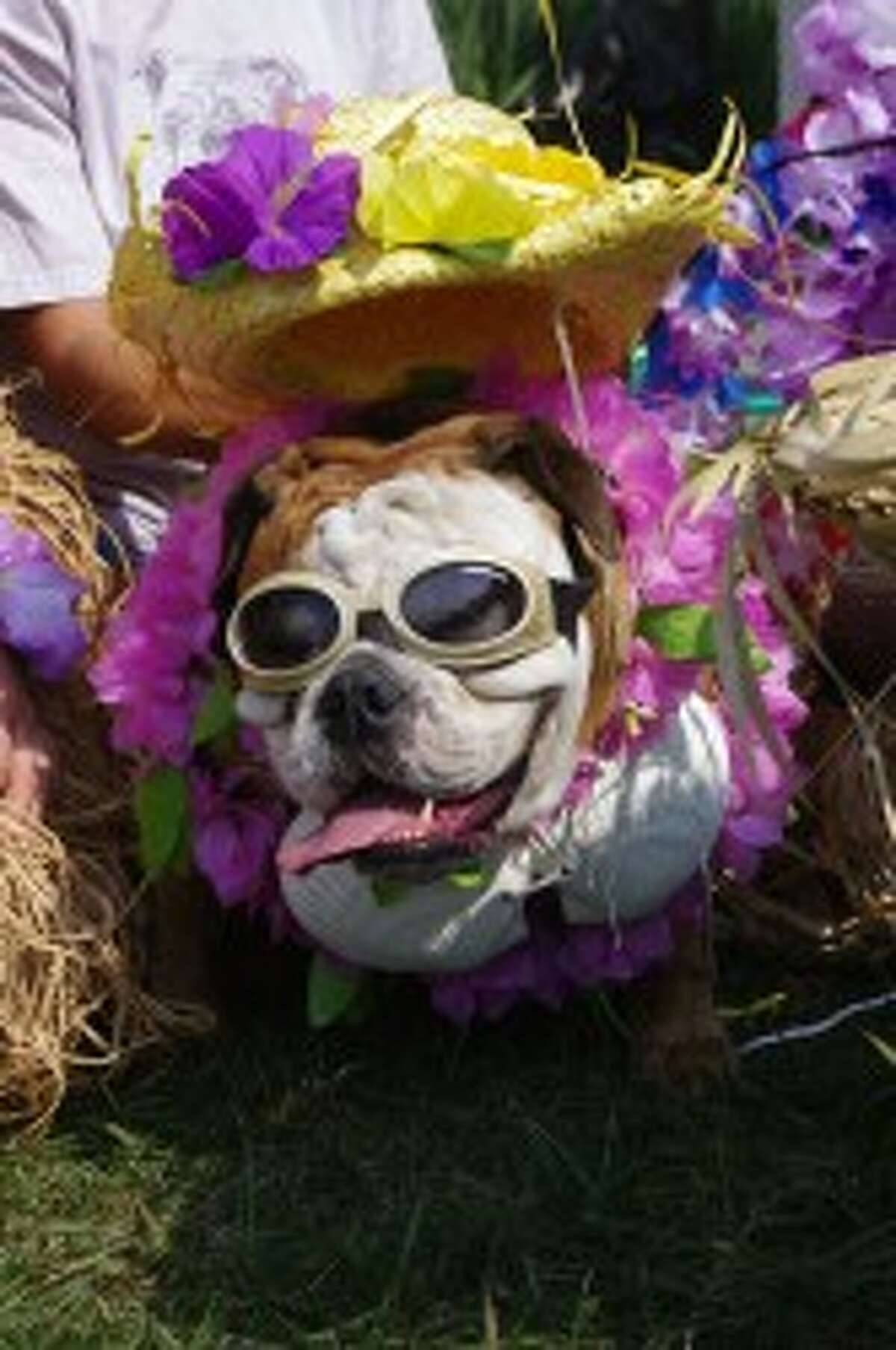 This bulldog won the costume contest in the 2012 Blessing of the Animals at Circle Rocking S Children's Farm. (News Advocate File Photo)